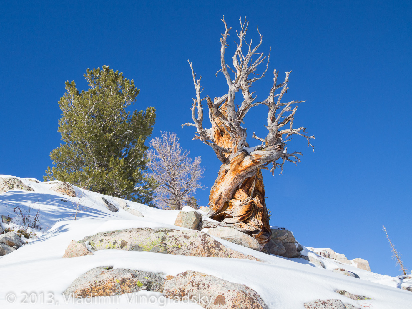 A twisted pine on the mountaintop
